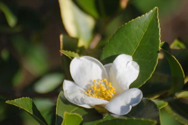 Camellia tenuifolia