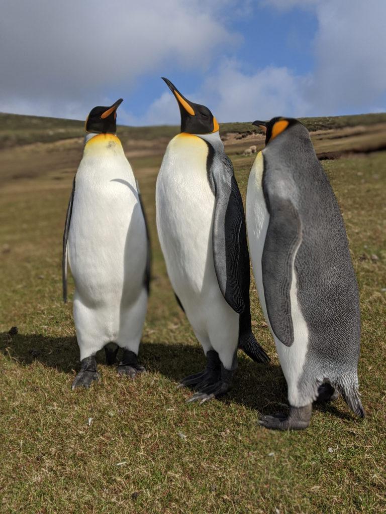 Pinguini reali - King (Aptenodytes patagonicus) - The Neck - Saunders Island