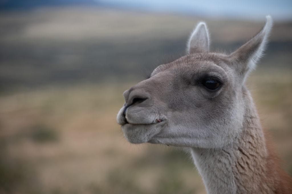 Guanaco (Lama guanicoe) - Torres del Paine