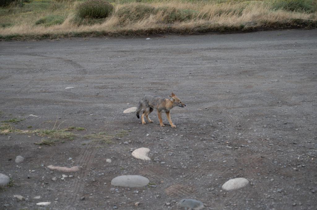 Culpeo patagonico (Lycalopex culpaeus magellanicus) - Torres del Paine