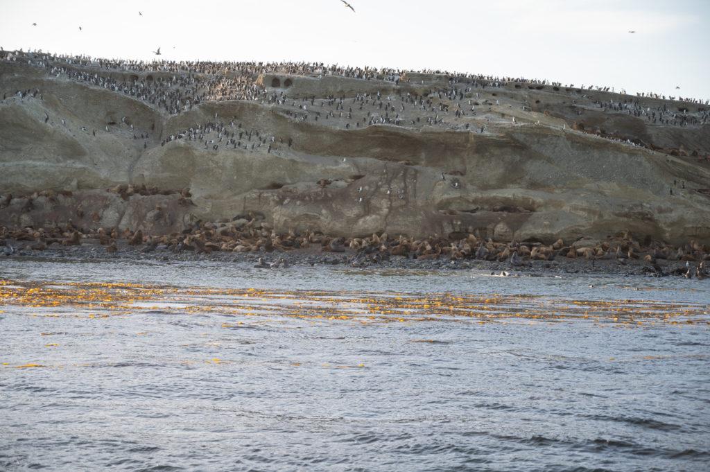 Cormorani di Magellano (Phalacrocorax magellanicus) - Leoni marini (Otaria flavescens) - Isla Marta