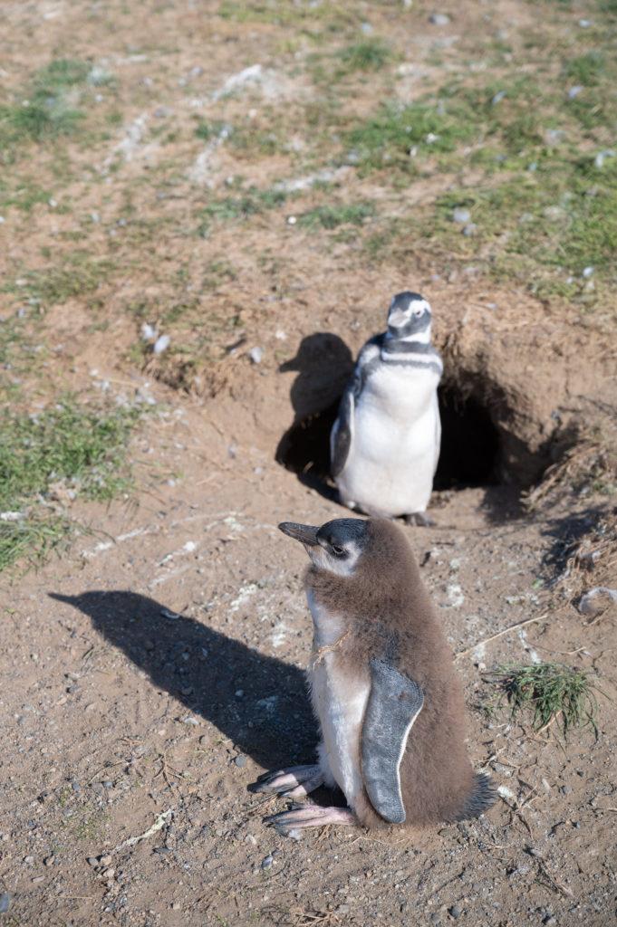 Pinguini di Magellano (Spheniscus magellanicus) - Isla Magdalena