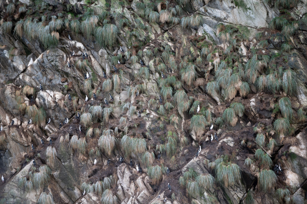 Cormorani di Magellano (Phalacrocorax magellanicus)
