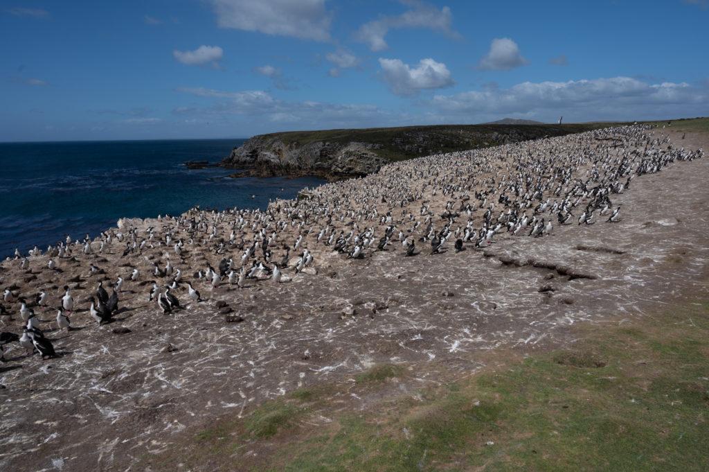 Cormorani di Magellano (Phalacrocorax magellanicus) - White Rock