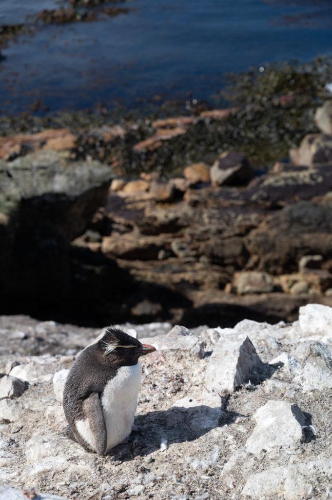 Pinguino saltarocce - Southern rockhopper penguin (Eudyptes chrysocome) - White Rock
