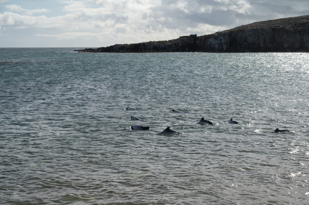 Delfini - Pebble Island