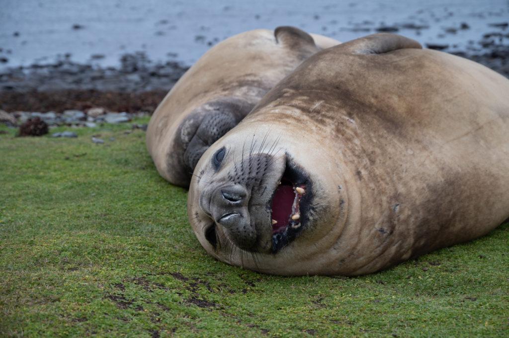 Elefanti marini del Sud (Mirounga leonina) - Kale Point - East Falkland